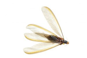Your Pest Defense-flying-termites