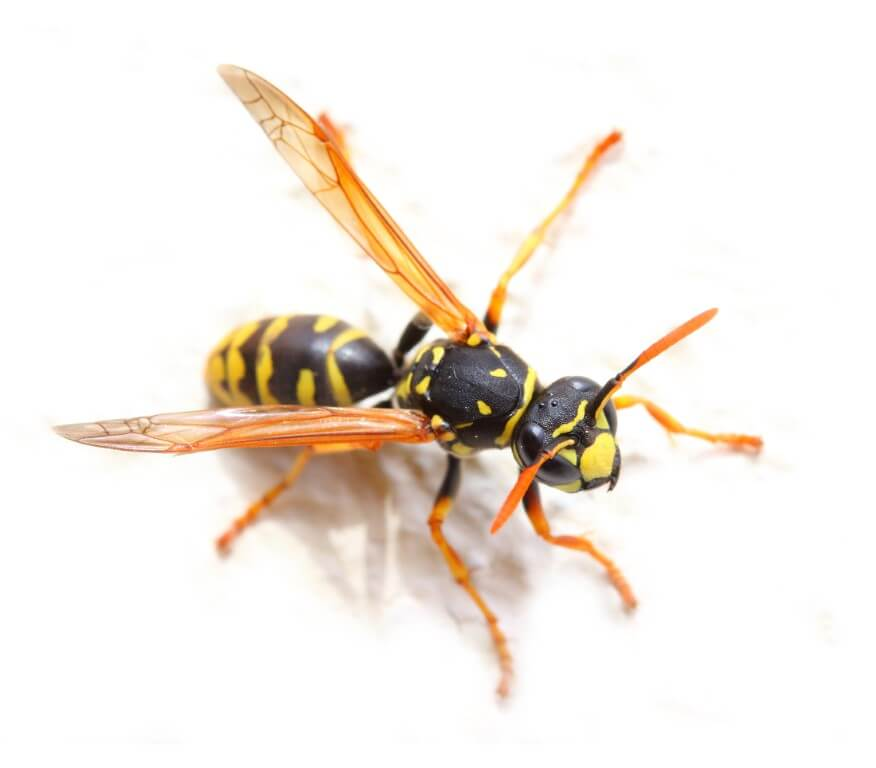 Your Pest Defense-wasp
